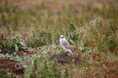 White rumped snowfinch.jpg